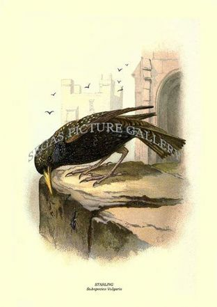 STARLING - Subspecies Vulgaris